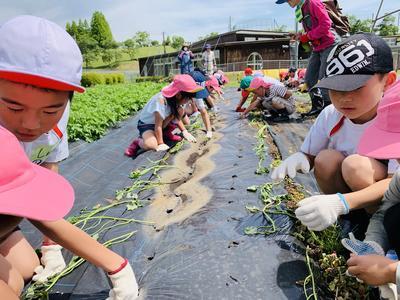 園児たちと苗植え